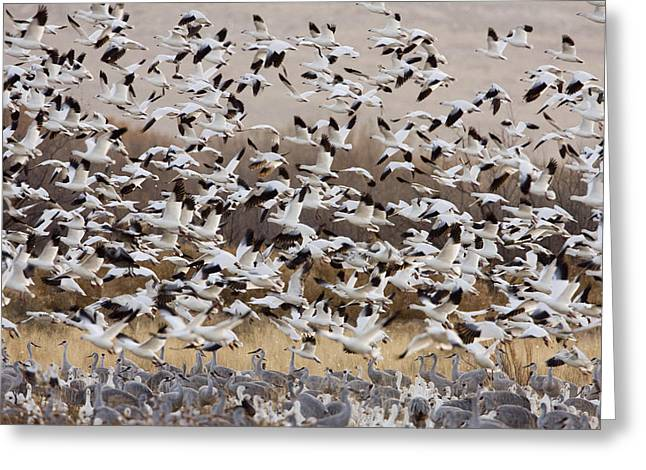 Snow Geese In Flight Greeting Cards - Snow Geese Taking Flight With Sandhill Greeting Card by Sebastian Kennerknecht