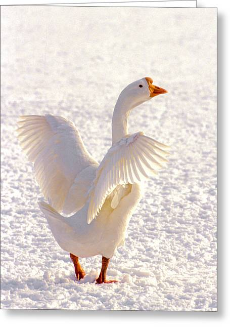 Cold Feet Greeting Cards - Snow Goose Greeting Card by Patrick M Lynch