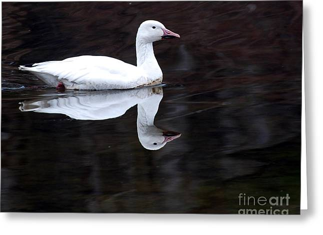 Reflections On Snow Greeting Cards - Snow Goose Greeting Card by Paul Ward