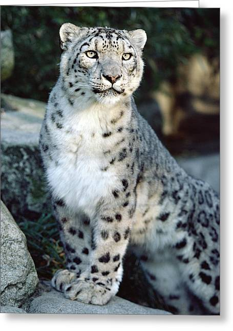 Animals and Earth - Greeting Cards - Snow Leopard Uncia Uncia Portrait Greeting Card by Gerry Ellis