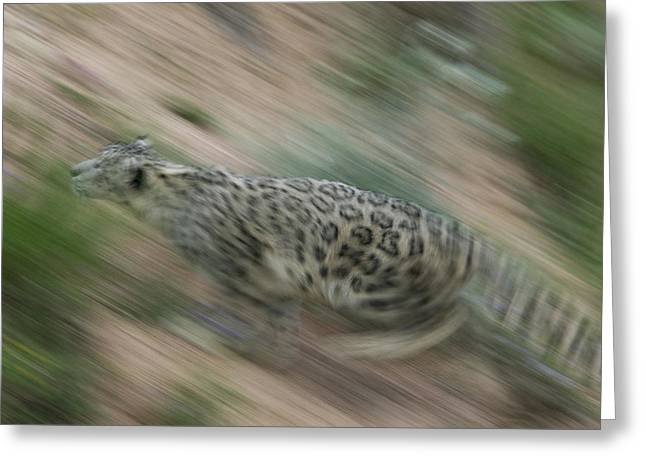 Leopard Running Greeting Cards - Snow Leopard Uncia Uncia Running Greeting Card by Cyril Ruoso