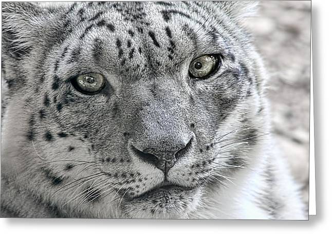 Staring Into Camera Greeting Cards - Snow Leopard Wild Cat Eyes Greeting Card by Tracie Kaska