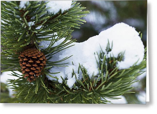 Pine Cones Greeting Cards - Snow On A Tree Greeting Card by Natural Selection Craig Tuttle