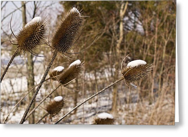 Snow Seeds Greeting Cards - Snow on the Seed Cones Greeting Card by Douglas Barnett