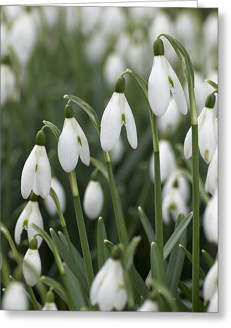 Snowdrop (galanthus Nivalis) Flowers Greeting Card by Adrian Bicker