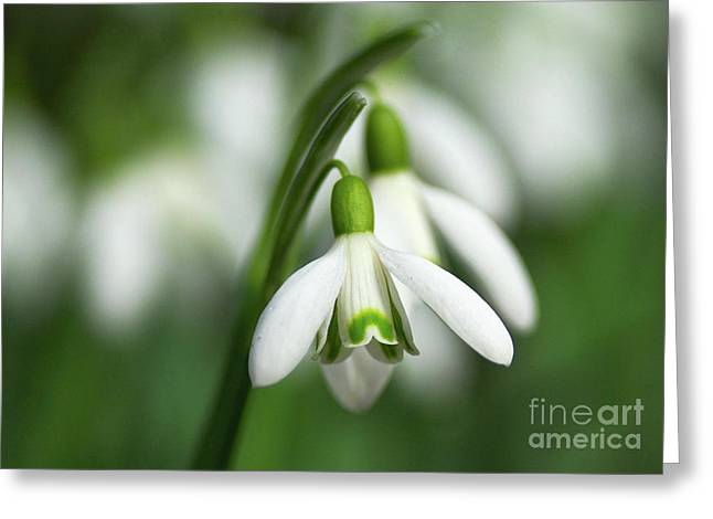 Spring Bulbs Greeting Cards - Snowdrops  Greeting Card by Sharon  Talson