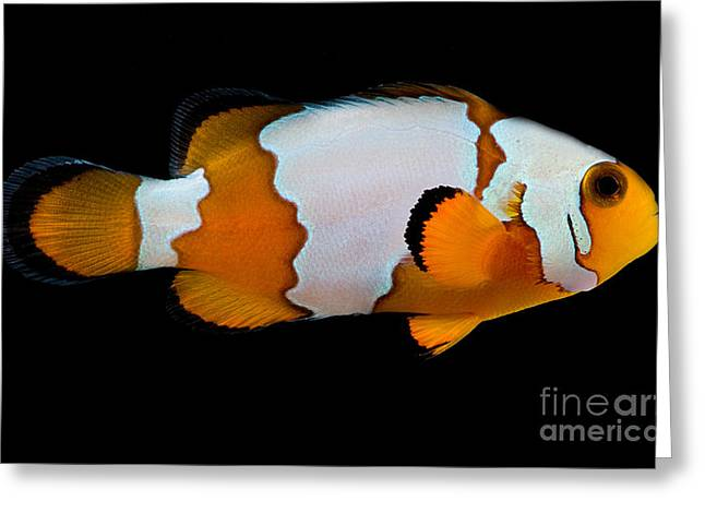 Reef Fish Greeting Cards - Snowflake Clownfish Greeting Card by Danté Fenolio
