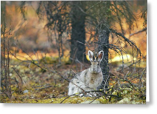 Hare Photographs Greeting Cards - Snowshoe Hare Greeting Card by Rick Berk
