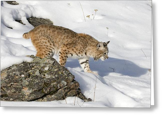 Bobcats Photographs Greeting Cards - Snowshoes Greeting Card by Dewain Maney