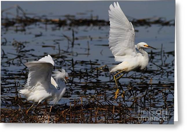 Water Fowl Greeting Cards - Snowy Egret . 7D11958 . Version 2 Greeting Card by Wingsdomain Art and Photography