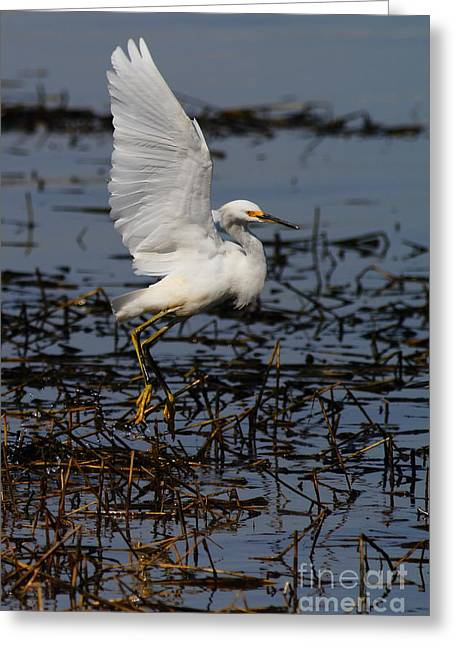 Water Fowl Greeting Cards - Snowy Egret . 7D11958 . Vertical Cut Greeting Card by Wingsdomain Art and Photography