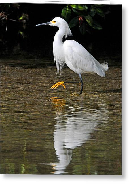 Snowy Egret Greeting Cards - Snowy Egret Greeting Card by Alan Lenk