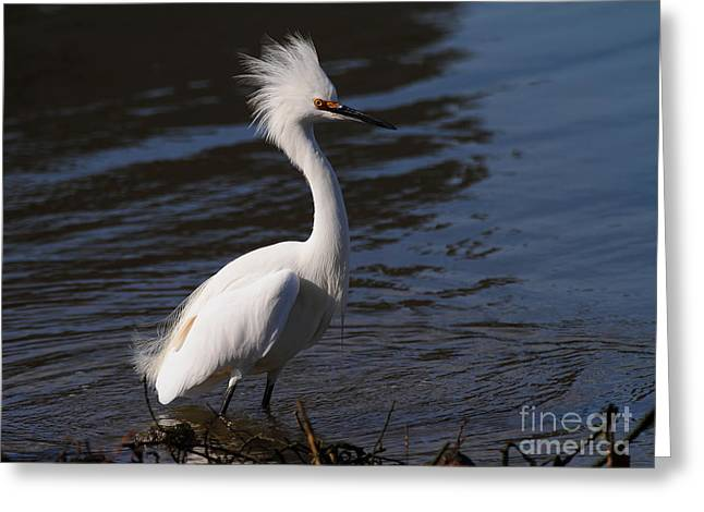 Snowy Day Greeting Cards - Snowy Egret . Bad Hair Day . 7D11892 Greeting Card by Wingsdomain Art and Photography