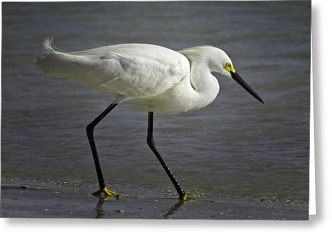 Ft. Meyers Beach Greeting Cards - Snowy Egret by the Lagoon Greeting Card by Fran Gallogly