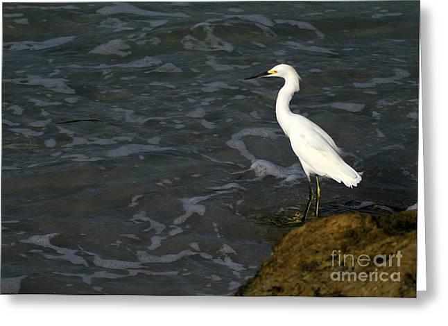 Wakodahatchee Greeting Cards - Snowy Egret by the Sea Greeting Card by Sabrina L Ryan