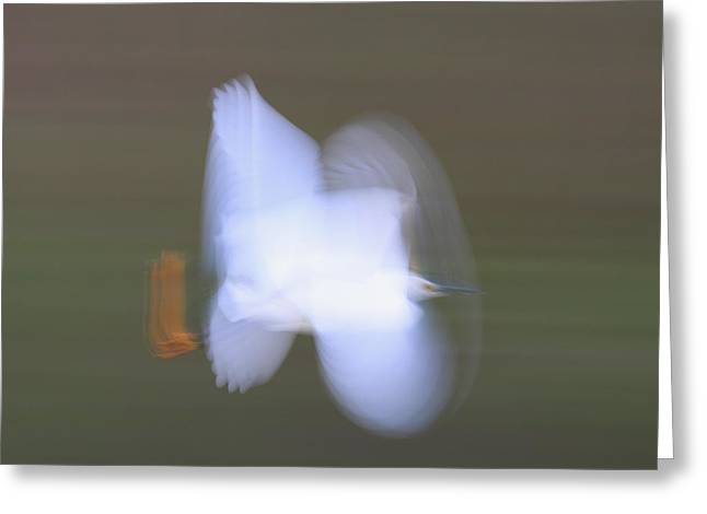 Egretta Thula Greeting Cards - Snowy Egret Egretta Thula Flying Greeting Card by Scott Leslie