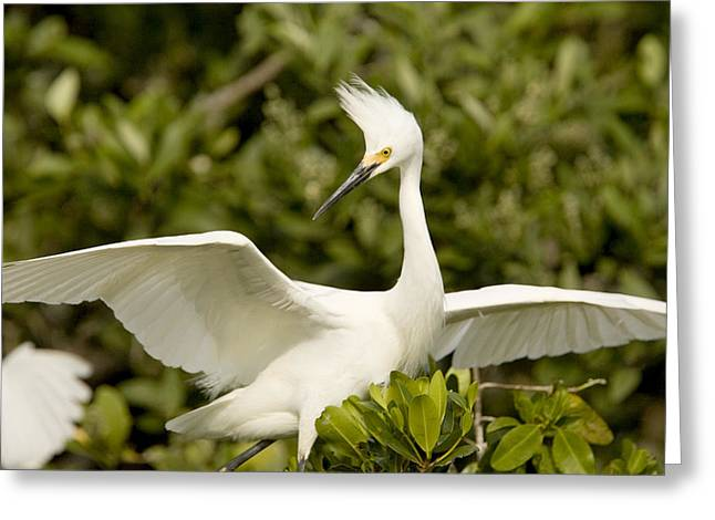 Mangrove Trees Greeting Cards - Snowy Egret Egretta Thula Portrait Greeting Card by Tim Laman