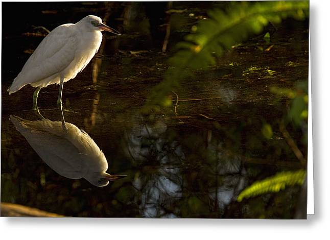 Without Lights Greeting Cards - Snowy Egret, Florida Greeting Card by Robert Postma