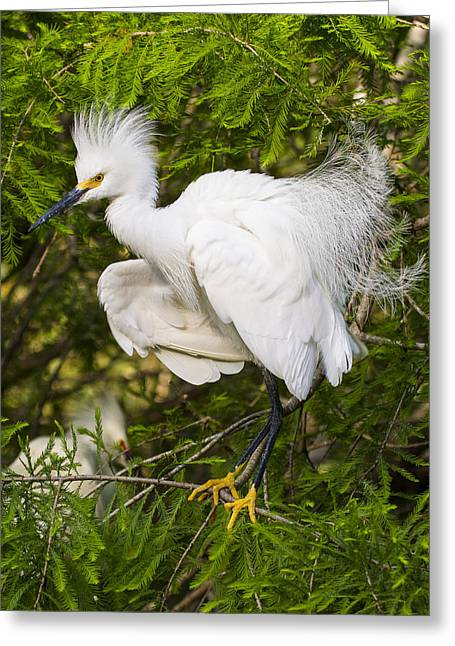 Bird On Tree Greeting Cards - Snowy Egret in Breeding Plumage Greeting Card by Bill Swindaman