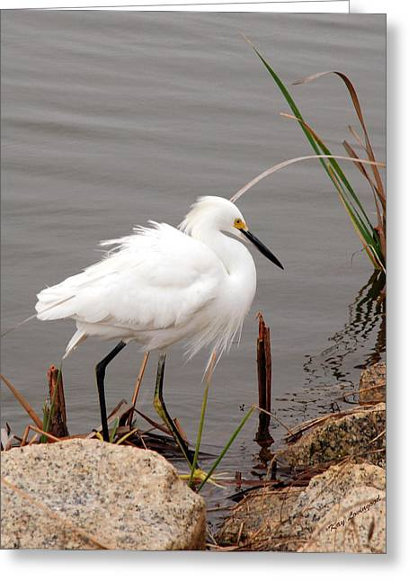 Kay Lovingood Greeting Cards - Snowy Egret Greeting Card by Kay Lovingood
