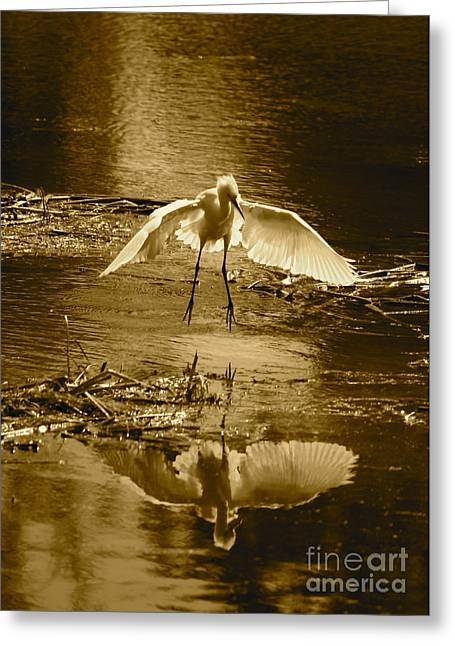 Reflection On Pond Greeting Cards - Snowy Egret Landing with Golden Tones Greeting Card by Carol Groenen