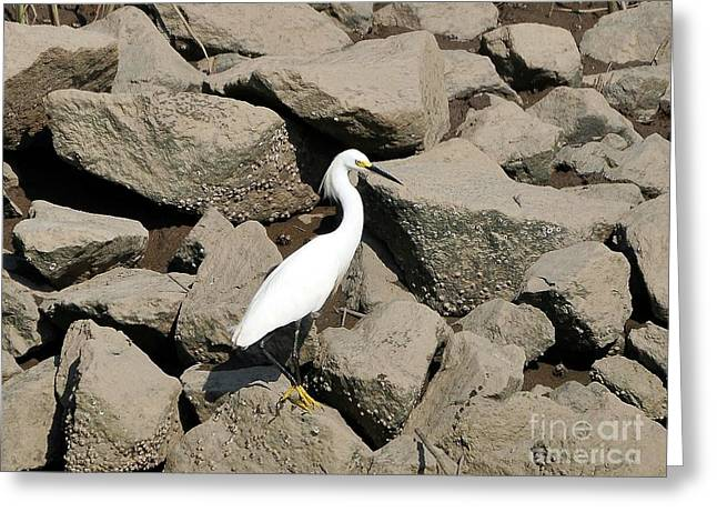 Fiddler Crab Greeting Cards - Snowy Egret on the Rocks Greeting Card by Al Powell Photography USA