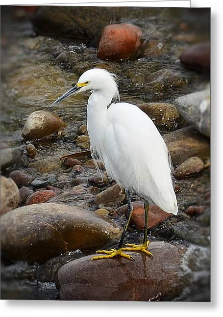 Snowy Egret Greeting Cards - Snowy Egret  Greeting Card by Saija  Lehtonen