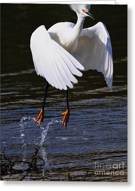 Water Fowl Greeting Cards - Snowy Egret . They Call Me Happy Feet . 7D11887 Greeting Card by Wingsdomain Art and Photography
