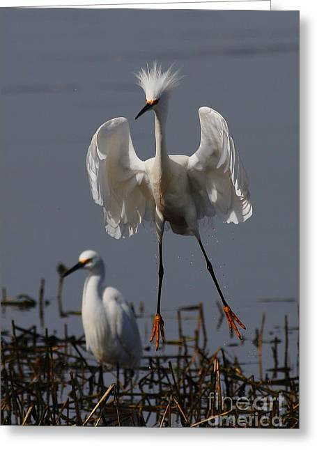 Water Fowl Greeting Cards - Snowy Egret . They Call Me Happy Feet Too . 7D12044 Greeting Card by Wingsdomain Art and Photography