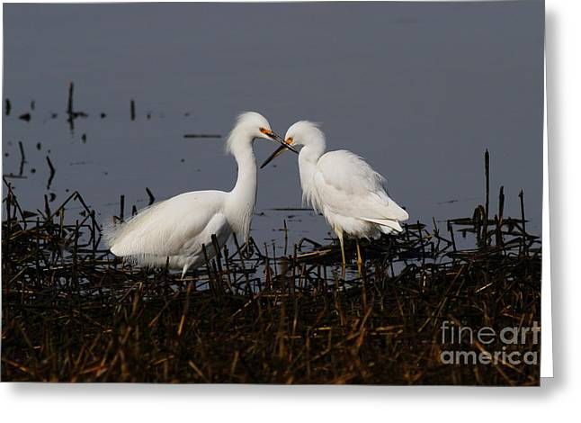 Snowy Day Greeting Cards - Snowy Egret . This Swan Heart Shape Thing Is Not As Easy As It Looks . 7D12062 Greeting Card by Wingsdomain Art and Photography