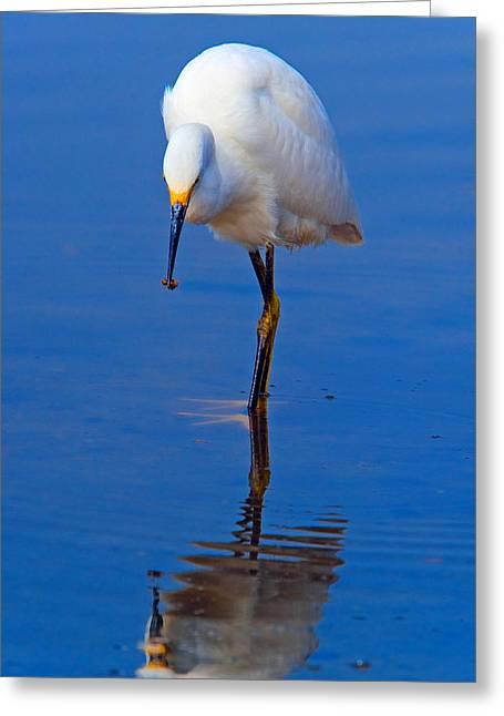Nahmias Greeting Cards - Snowy Egret.Egretta thula. Greeting Card by Eyal Nahmias