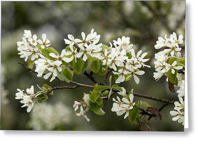Green Foliage Greeting Cards - Snowy Mespilus (amelanchier Ovalis) Greeting Card by Bob Gibbons