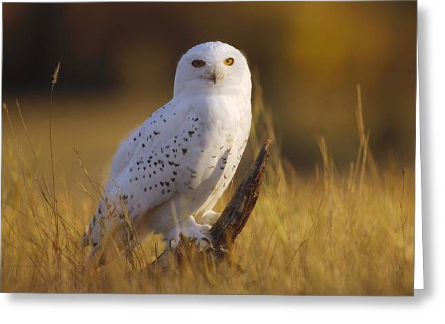 Three-quarter Length Greeting Cards - Snowy Owl Adult Amid Dry Grass Greeting Card by Tim Fitzharris