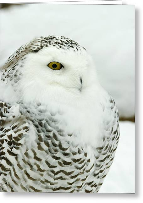 Bellevue Greeting Cards - Snowy Owl In Ecomuseum Zoo Greeting Card by Steeve Marcoux