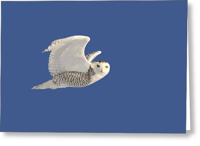 Flying Animal Greeting Cards - Snowy Owl in flight Greeting Card by Mark Duffy