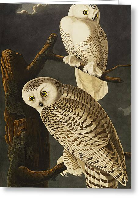 Snowy Tree Greeting Cards - Snowy Owl Greeting Card by John James Audubon