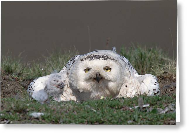 Snowy Day Greeting Cards - Snowy Owl Nyctea Scandiaca Mother Greeting Card by Konrad Wothe