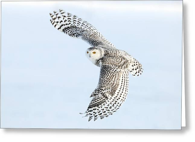 White Wing Greeting Cards - Snowy Owl Topside Greeting Card by Scott  Linstead