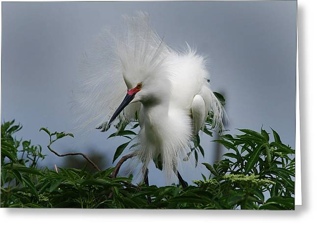 Photos Of Birds Greeting Cards - Snowy Stand Off Greeting Card by Skip Willits