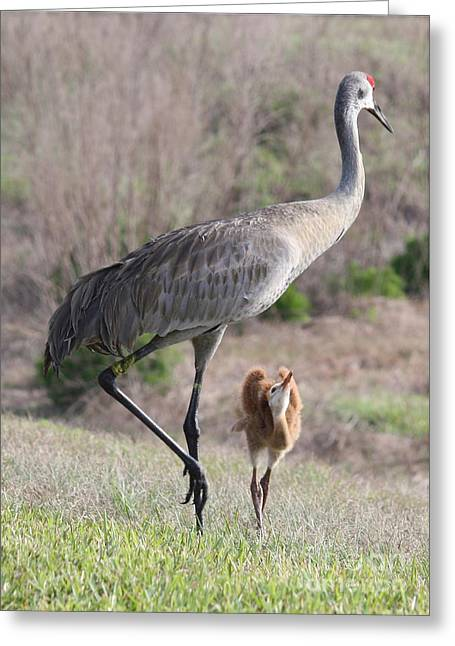 Sandhill Crane Chicks Greeting Cards - So Big Greeting Card by Carol Groenen