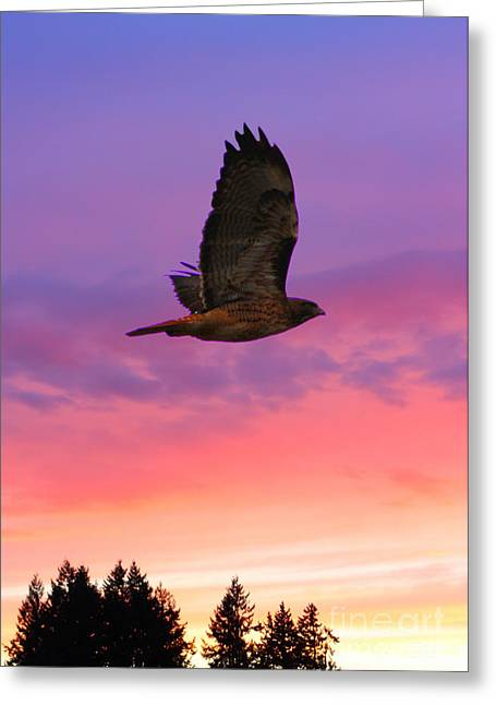 Hawk Birds Greeting Cards - Soaring Hawk Greeting Card by Nick Gustafson