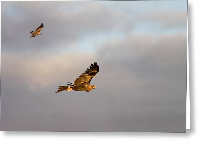Avian Greeting Cards - Soaring Pair Greeting Card by Mike  Dawson