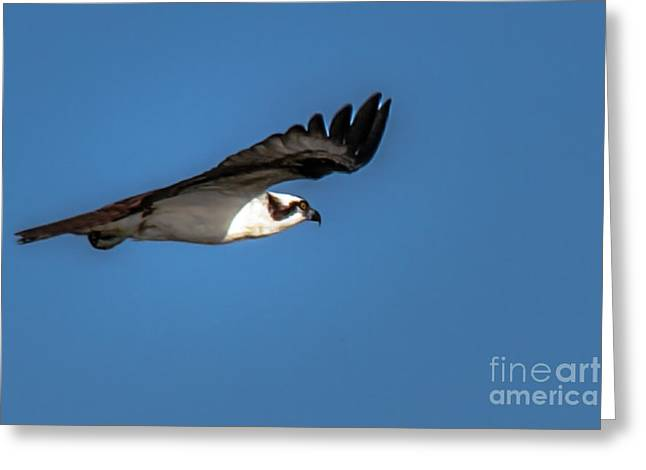 Migratory Bird Greeting Cards - Soaring Greeting Card by Robert Bales