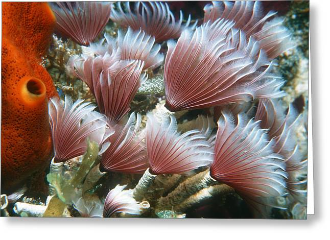 Asexual Greeting Cards - Social Feather Duster Worm Greeting Card by Georgette Douwma