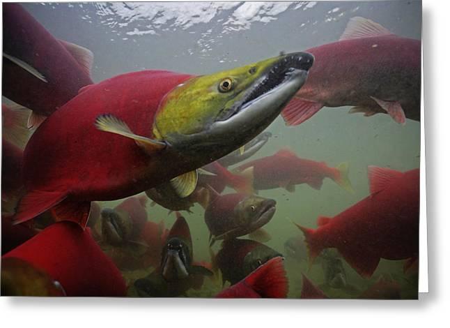 Sockeye Salmon Find Their Way Greeting Card by Michael Melford