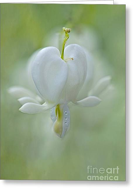 Close Focus Floral Greeting Cards - Soft Hearted Greeting Card by Jacky Parker