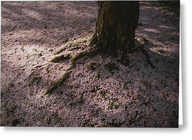Tree Roots Greeting Cards - Soft Light On A Pink Carpet Of Fallen Greeting Card by Stephen St. John