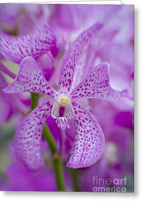 Soft On Orchids Greeting Card by Jacky Parker