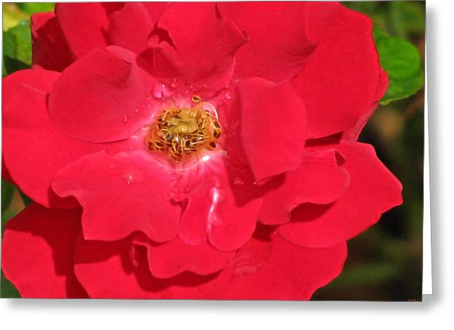 Birght Greeting Cards - Soft Red Rose Greeting Card by Debra     Vatalaro