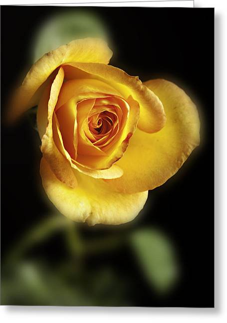 Flower Still Life Prints Photographs Greeting Cards - Soft Yellow Rose on Black Greeting Card by M K  Miller